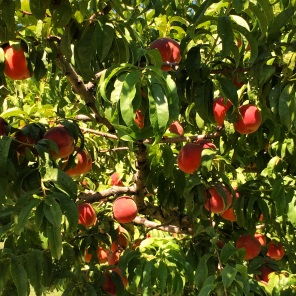 Palisade Peaches (or Rocky Mountain Gold)