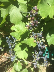 Wine grapes ripe for the picking.